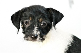 Wapoo Puppy For Sale in MEADVILLE, PA, USA