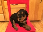 Airedale Terrier Puppy For Sale in EUGENE, OR