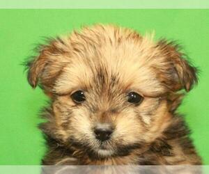 Chorkie Puppy for Sale in SHAWNEE, Oklahoma USA