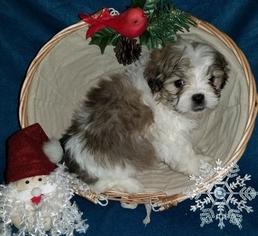 Mal-Shi Puppy For Sale in ANDERSON, AL