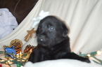 Labrador Retriever Puppy For Sale in MARION, IN, USA