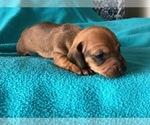 Puppy 6 Dachshund