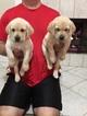 AKC Yellow Lab Puppies with Champion Pedigree
