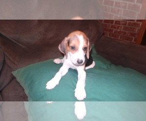American Foxhound Puppy for Sale in AIKEN, South Carolina USA