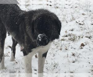 Mother of the Anatolian Shepherd puppies born on 09/01/2019