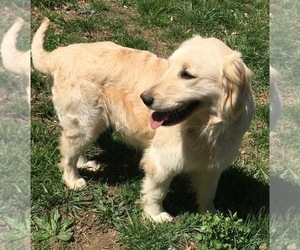 Mother of the Goldendoodle puppies born on 01/05/2020