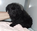 Goldendoodle-Poodle (Miniature) Mix Puppy For Sale in MIDDLEBURY, IN, USA