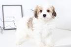 Havanese Puppy For Sale near 34104, Naples, FL, USA