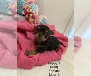 Chorkie Puppy for sale in CHESTERTOWN, MD, USA