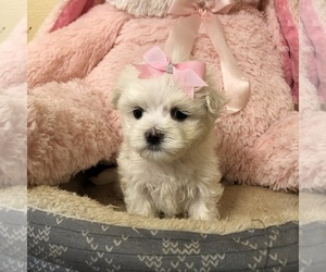 Maltese Puppy for sale in KENDALL, FL, USA