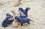 Doberman Pinscher Puppy For Sale in EUFAULA, AL, USA