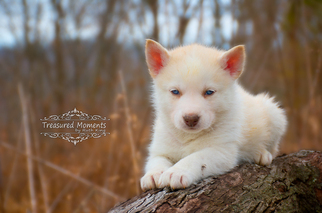 View Ad: Border Collie-Siberian Husky Mix Puppy for Sale ...