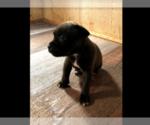 Puppy 3 Staffordshire Bull Terrier