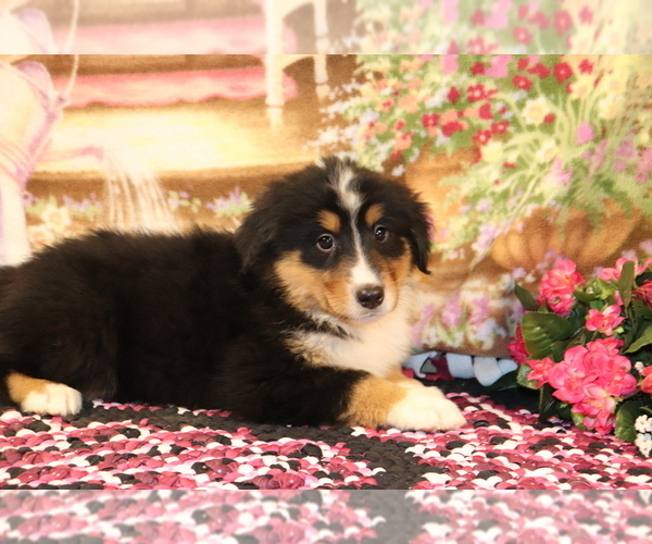 Medium Photo #3 Bernese Mountain Dog-Collie Mix Puppy For Sale in SHILOH, OH, USA