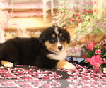Small Photo #3 Bernese Mountain Dog-Collie Mix Puppy For Sale in SHILOH, OH, USA