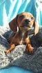 Gleaming miniature dachshund puppies