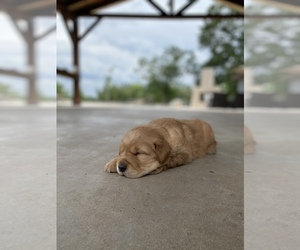Golden Retriever Puppy for sale in ELWOOD, TX, USA