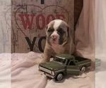 Puppy 9 Olde English Bulldogge