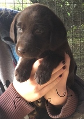 Labrador Retriever Puppy For Sale in BOW, WA, USA