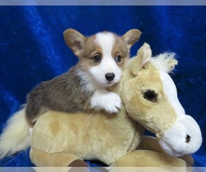 Pembroke Welsh Corgi Dog for Adoption in NORWOOD, Missouri USA