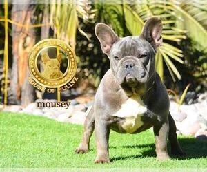 Mother of the French Bulldog puppies born on 12/27/2020