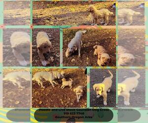 Pyredoodle Puppy for sale in CAVE JUNCTION, OR, USA