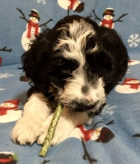 Portuguese Water Dog Puppy For Sale in TOOELE, UT, USA