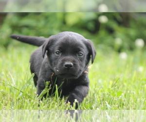 Labrador Retriever Puppy for sale in BROOKFIELD, MO, USA