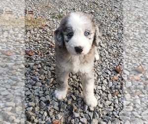 Aussiedoodle-Poodle (Standard) Mix Puppy for sale in DOWELLTOWN, TN, USA