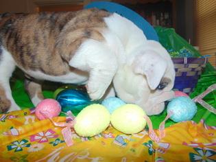 English Bulldogge Puppy for sale in HAMILTON, OH, USA