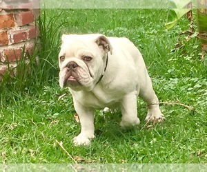 Mother of the English Bulldogge puppies born on 12/22/2020