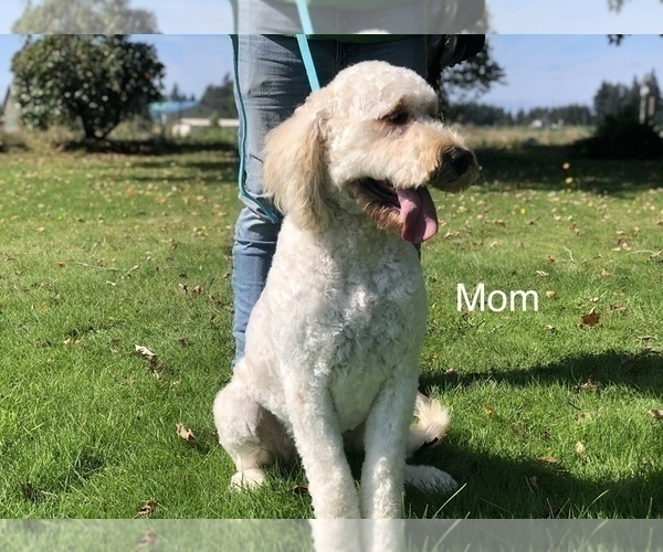 Medium Photo #2 Goldendoodle Puppy For Sale in SALEM, OR, USA