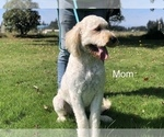 Small Photo #2 Goldendoodle Puppy For Sale in SALEM, OR, USA
