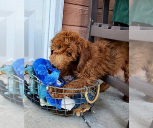 Goldendoodle Puppy for sale in LAS VEGAS, NV, USA