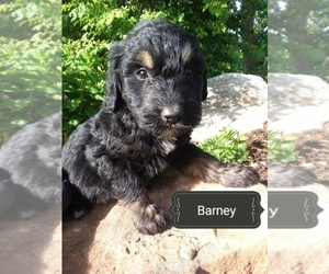 Goldendoodle Puppy for Sale in MILLERSBURG, Pennsylvania USA