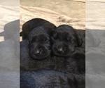 Small #3 Goldendoodle-Labrador Retriever Mix