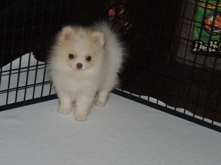 Pomeranian Puppy For Sale in CALHOUN, GA