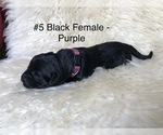 Puppy 5 Labrador Retriever