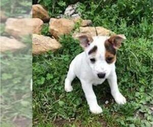 Australian Cattle Dog-Fox Terrier (Smooth) Mix Puppy for Sale in LEETONIA, Ohio USA
