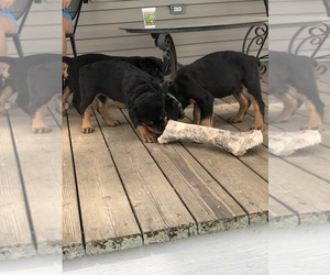 Rottweiler Puppy for sale in TRENTON, IL, USA