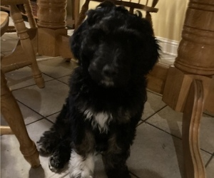 Pyredoodle Puppy for Sale in TROUP, Texas USA