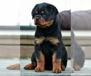 Rottweiler Puppy for sale in CHICAGO, IL, USA
