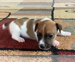Puppy 4 Jack Russell Terrier