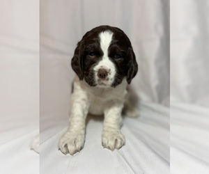 English Springer Spaniel Puppy for sale in OREGONIA, OH, USA