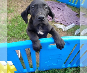 Great Dane Puppy for Sale in PIERSON, Michigan USA