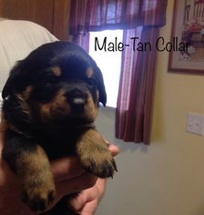 View Ad Rottweiler Puppy For Sale Indiana Decatur Usa