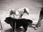 Newfoundland Puppy For Sale in JACKSON, Missouri,