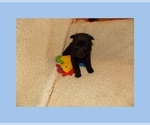 Image preview for Ad Listing. Nickname: AKC Schipperke
