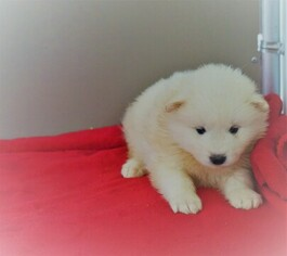 Puppyfinder com: Samoyed puppies puppies for sale near me in