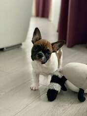 French Bulldog Puppy for sale in YORKTOWN, NY, USA